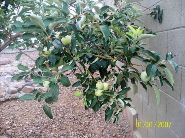 Apple tree limb